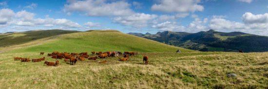 Vaches salers au buron d'Algour - Tirage photo