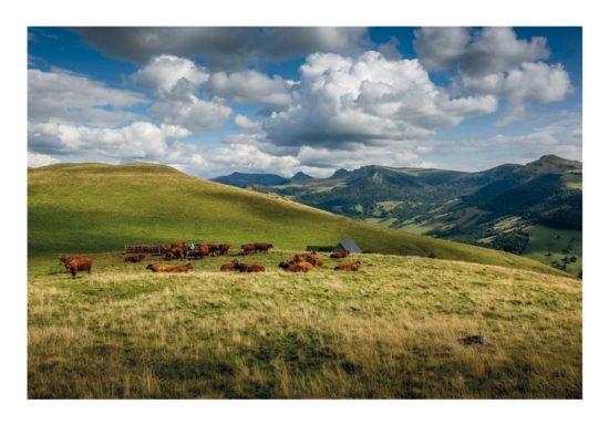 Vaches salers au buron d'Algour, Cantal