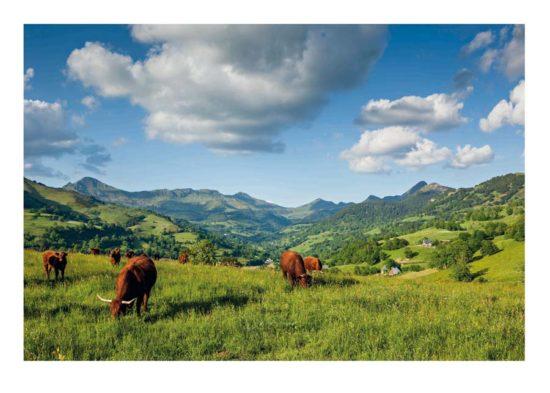Vaches salers, vallée de La Jordanne - Tirage photo