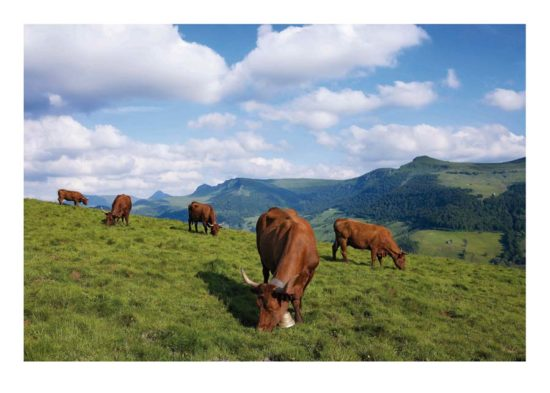 Vaches salers, Cantal - Tirage photo